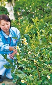 椿のような紅茶の花