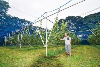 若い木々が連なるV字棚 多くの実がなっている