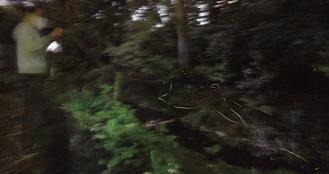せせらぎをかすめるように飛んだり草木に止まって明滅した