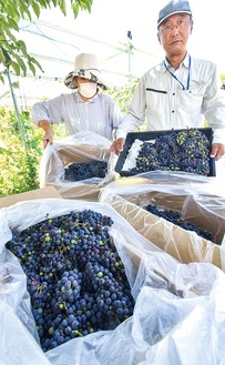 大蔵近くの畑(藤沢市)で8月19日に栽培されたブドウ。同じ品種の「メイヴ」を寒川の畑にも植える