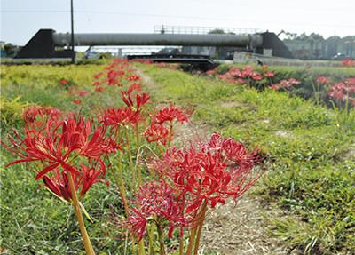 小出川を縁取る赤い帯