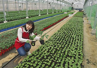 野菜苗の出荷ピーク