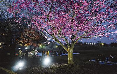 早咲き桜でライトアップ