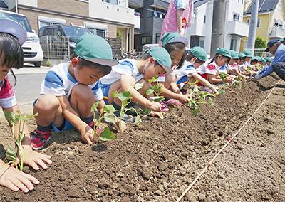 園児がサツマイモ植え