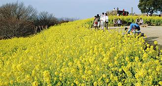 吾妻山の山頂斜面に広がる満開時の菜の花畑(過去の様子)