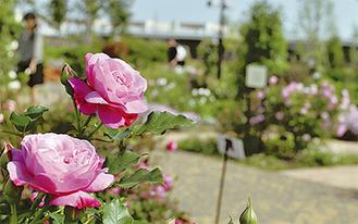 園内に咲くバラ(5月14日撮影)/花菜ガーデン【電話】0463(73)6170