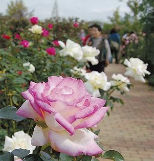 来場者が園内に咲くバラを鑑賞していた=10月18日撮影