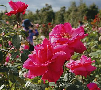 見応えある秋バラが来場者の目を楽しませている(10月19日撮影)