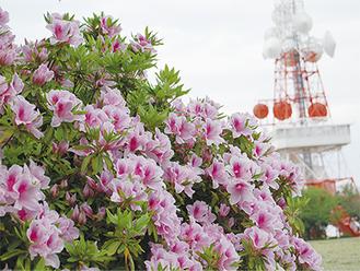 湘南平で咲き誇るツツジ(4月22日撮影)
