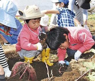 土を掘り丁寧に収穫する参加者