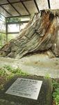 同館駐車場にある箱根町仙石原で見つかった神代杉
