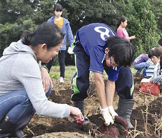 一つひとつ手作業で収穫する参加者
