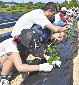苗の植え付けをする参加者ら
