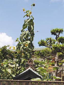 夏の青空を彩るヒマワリ(8月19日撮影)
