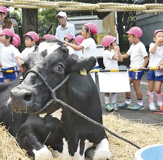 普段見慣れない牛を見て興奮する園児ら(市提供)