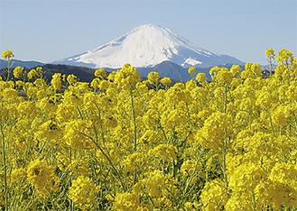 富士山を背に咲く吾妻山の菜の花