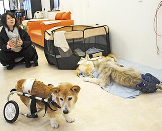 犬用の車いすを実際に取り付け取扱い方を解説した