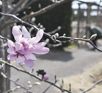 開花したマグノリア(3月11日撮影)