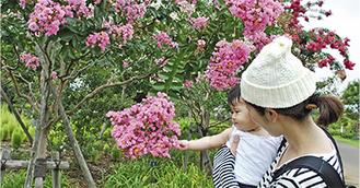 満開のサルスベリを観察する親子連れ(8月4日撮影)