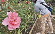 芳醇な香り携え開花