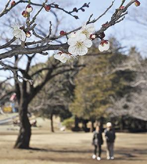 総合公園の梅(2月13日撮影)