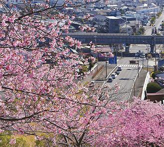 見頃を迎えている河津桜=3月3日撮影