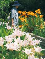 初夏を彩るユリが開花