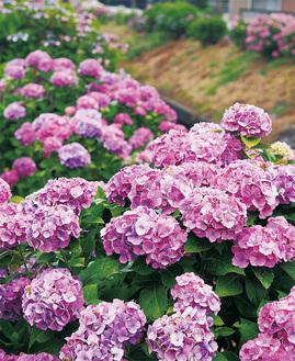 タマアジサイなどが植栽される堤防敷(6月11日撮影)
