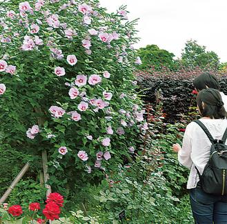 花菜ガーデン ムクゲが開花