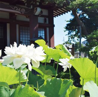 晴天に映える白い蓮と要法寺本堂(7月2日撮影)