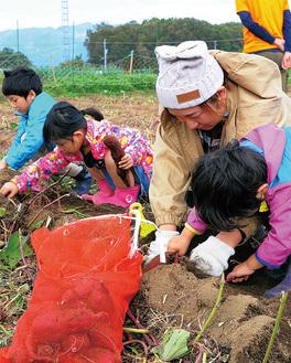 サツマイモを掘る参加者ら