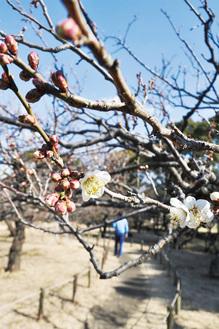 ほころび始めた梅の花(2月4日撮影)