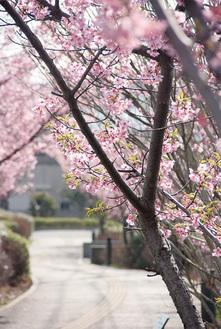 ひらつかサン・ライフアリーナそばの河津桜(3月2日撮影)