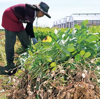 たわわに実った生落花生を収穫する森さん(7日撮影)