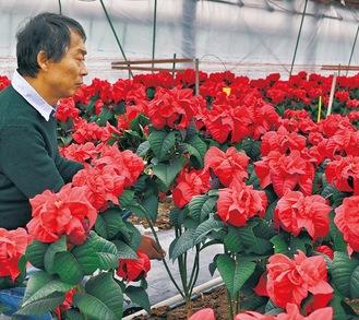 摘み取り作業を行う平野さん(12月13日撮影 )