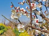 早咲きの梅開花