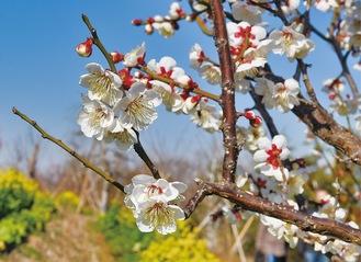 甘い香りのする梅の並木道(2月8日撮影)