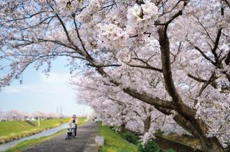渋田川の桜並木(4月3日撮影)