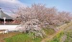金目観音の近く(4月2日撮影)