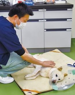 収容前に去勢手術を受け横たわる犬