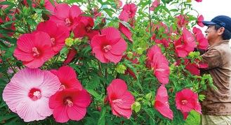 南国を彷彿とさせる鮮やかな花を咲かせている(7月25日撮影)