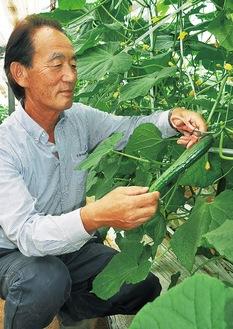およそ20cmのキュウリを収穫する尾崎さん
