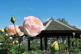 続々と開花するバラ(10月12日撮影)