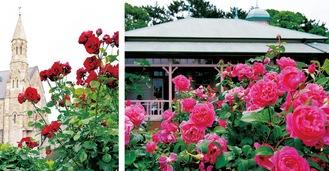 ホテルサンライフガーデンのバラ(左)と八幡山の洋館のバラ(5月22日撮影)