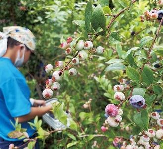 1日に10kg以上が収穫されている(13日撮影)