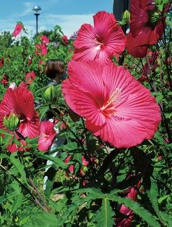 鮮やかに開花したタイタンビカス(21日撮影)