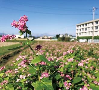 ソバの花(9月27日撮影)