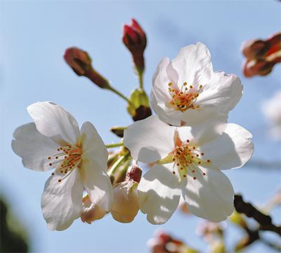 春爛漫サクラ咲く
