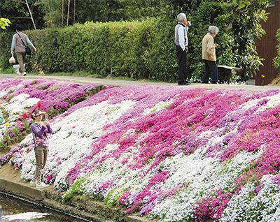 花の絨毯 芝桜見ごろ