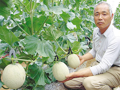 湘南マスクメロン収穫始まる
